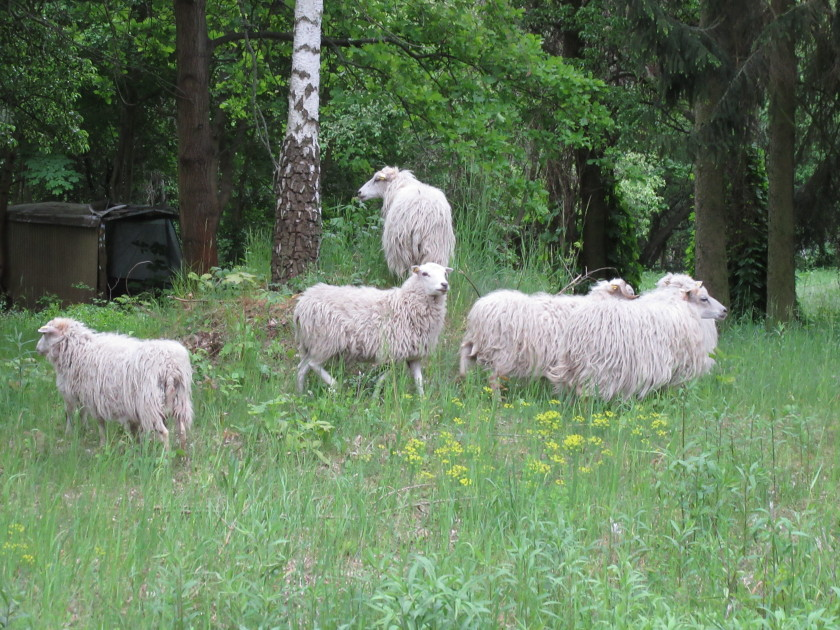 Seven sheep and two lambs are now grazing on the campus in Berlin-Wannsee, replacing the lawn mower.