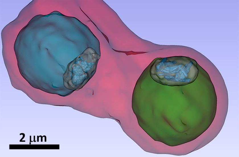 The image shows details such as the vacuole of the parasites (colored in blue and green) inside an infected blood cell.