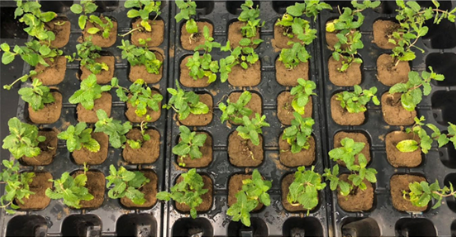 Mint plants have been analysed after having grown on contaminated soil samples.