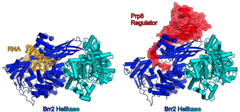"Structure of Brr2-protein belongs to a family of enzymes that are called ""RNA helicases""."