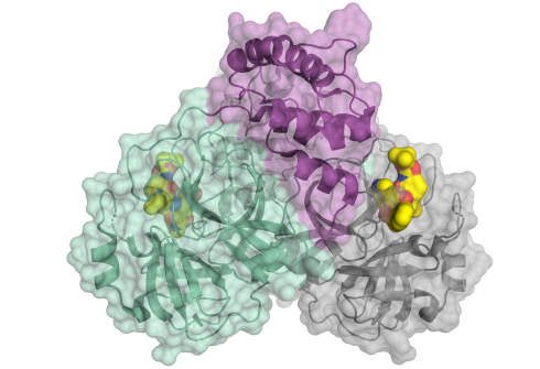 <p>Schematic representation of the coronavirus protease. The enzyme comes as a dimer consisting of two identical molecules. A part of the dimer is shown in colour (green and purple), the other in grey. The small molecule in yellow binds to the active centre of the protease and could be used as blueprint for an inhibitor.</p>