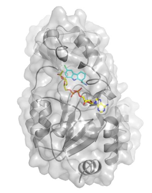 The inhibitor Ex-527 attaches to the enzyme Sirt-3 (shown here in light grey) and to acetylated ADP ribose; this substance is a product which results from Sirt-3 mediated deacetylation. This blocks the sirtuin's active center to prevent further deacetylation. This way, the sirtuin has effectively set a permanent trap for itself the first time around. Image: C. Steegborn